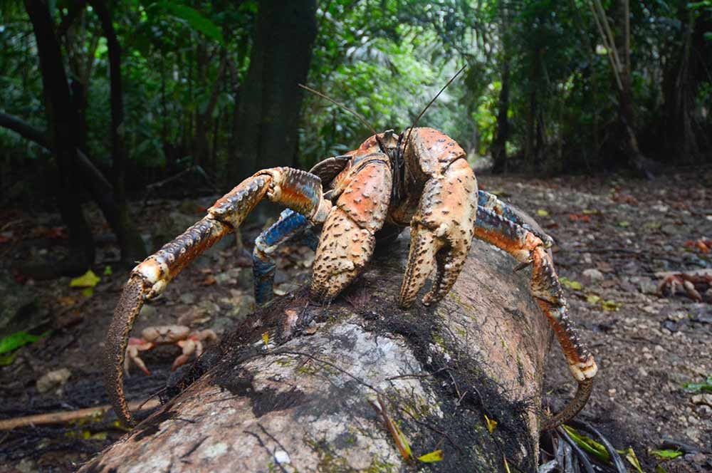 robber crab on Christmas Island