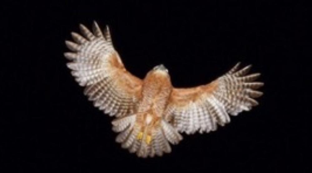hawk owl christmas island